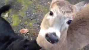 """News video: """"The Most Unusual Friendship Between A Deer And Two Dogs"""""""