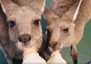 News video: Adorable Orphaned Kangaroos and Wallaby Huddle for Milk Feast