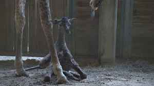 News video: Newborn Giraffe Doesn't Give Up When Trying To Stand Right After Being Born