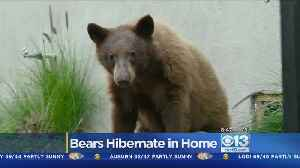 News video: Bear Family Discovered In Crawl Space Of LA County Home