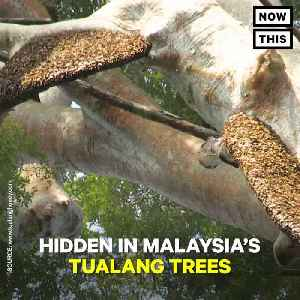 News video: Malaysian Honey Hunters Risk Their Lives Getting Stung by Bees