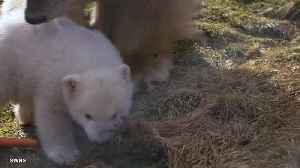 News video: First polar bear cub born in Britain