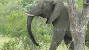News video: Lions run for their lives when an elephant charges them