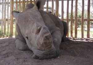 News video: World's Last Male Northern White Rhino Dies in Kenya Sanctuary