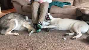 News video: Husky Siblings Fight For The Place Under Owner's Legs