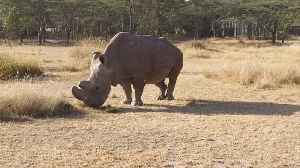 News video: After World's Last Male Northern White Rhino Dies There's Hope With IVF