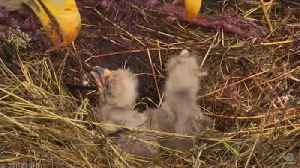 News video: Bald eagle chicks hatch on California's Channel Islands