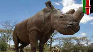 News video: How scientists plan to revive the northern white rhino