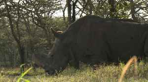 News video: Northern white rhino at brink of extinction after last male died