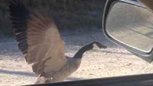 News video: Amazing Goose Flies Beside A Moving Car!