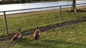 News video: Duck Parents Lay The Quack Down