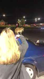 News video: Raccoon Refuses to Stop Chewing on Car Antenna