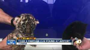 News video: Tiger and panther cub found at airport