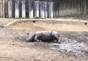 News video: Cincinnati Zoo's Black Rhino Calf Rolls in The Mud