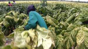 News video: Zimbabwe seizure of tobacco farms hamper production