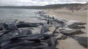 News video: More Than 140 Whales Are Dead After Mass Stranding in Australia