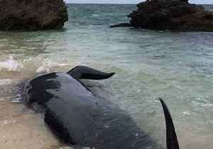 News video: At least 150 Beached Whales Seen on Shore of Hamelin Bay