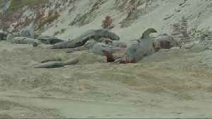 News video: Whales die after mass stranding in Australia