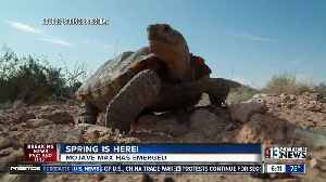 News video: Desert tortoise Mojave Max has emerged from Las Vegas burrow