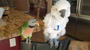 News video: Funny Parakeet Shares His Opinion About The Global Warming