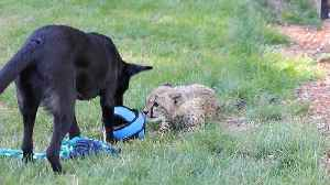 News video: Lonesome Cheetah Cub and Puppy Form Unlikely Friendship