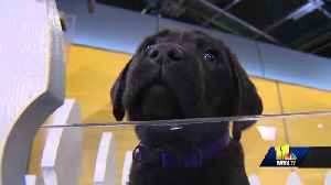News video: This breed is again America's favorite dog