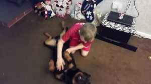 News video: Gentle Rottweiler Absolutely Loves Getting Belly Rubs