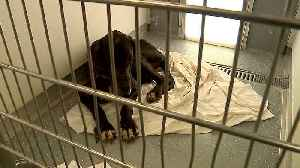 News video: Mom Arrested After Child, 3 Great Danes Found Living in Deplorable Conditions in Motel