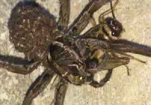News video: Wolf Spider Snags an Easy Meal