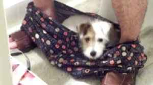 News video: A Puppy Turns Underpants Into A Bed