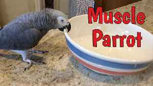 News video: Weight lifting parrot shows off his muscle strength