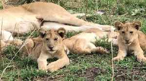 News video: Mum is having a lion in – Little cubs left on watch as females snooze