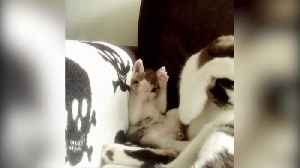 """News video: """"A Kitten Copies Her Mom Cat, Who Is Cleaning Herself"""""""