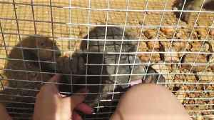 News video: Adorable rescued baby baboon interacting with caretaker