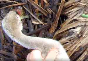 News video: Park Ranger Rescues Baby Swan Trapped by Fishing Wire