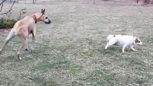 News video: Fearless puppy takes on 3 huge Great Danes