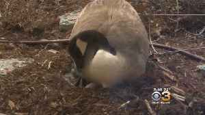 News video: Protective Mother Goose Forces Kids To Stay Inside Day Care Center