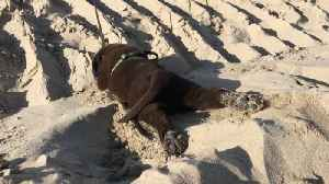 News video: Chocolate Labrador Pup Goes Belly Hill Sliding At The Beach