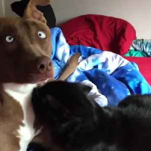 News video: Shy Pooch Feels Uncomfortable Being Caught Cuddling With The Cat