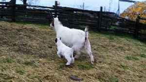 News video: 1-week-old baby goat bounces along with his mother
