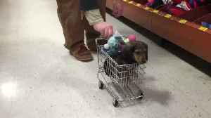 """News video: """"Man Pushes A Dachshund Pup In A Small Toy Shopping Cart"""""""