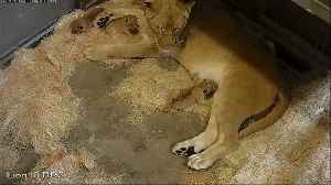 News video: Lion Mom Bonding With Newborn Triplets Caught on Surveillance