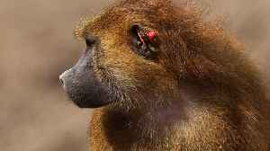 News video: Baboons Escape From Texas Biolab Enclosure