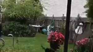 News video: Black dog running in lawn and jumps over other dog