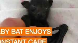 News video: Baby Bat Enjoys Constant Care