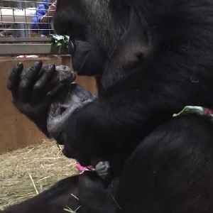 News video: Newborn gorilla showered with kisses at Smithsonian's National Zoo