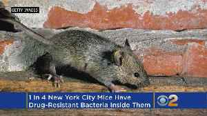 News video: Study: 1 In 4 Mice In NYC Full Of Drug-Resistant Bacteria