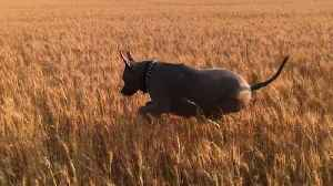 """News video: """"Hopping Pit Bull In A Wheat Field"""""""