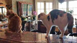 News video: Funny Cats Meet Newly Adopted Great Dane For The First Time