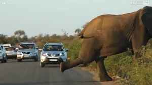 News video: Elephant holds up traffic to stretch